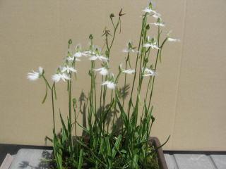 サギ草が咲きました