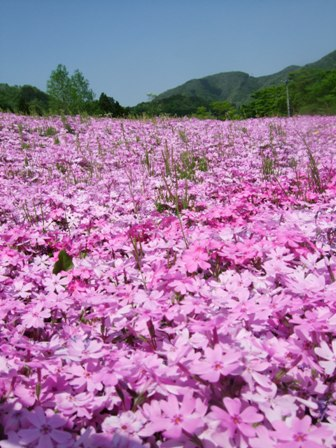 スパッシュランド白石の芝桜