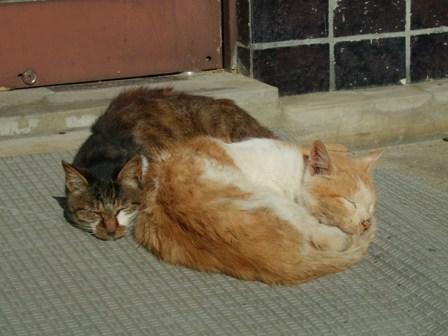 平泉 中尊寺で昼寝をする猫