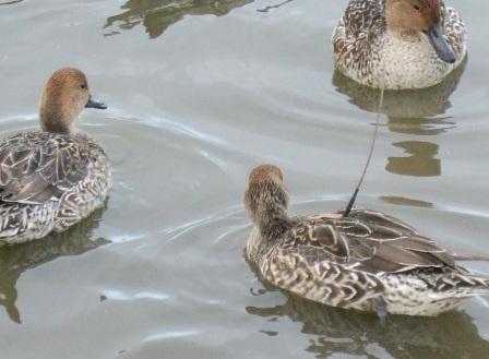 内沼の渡り鳥