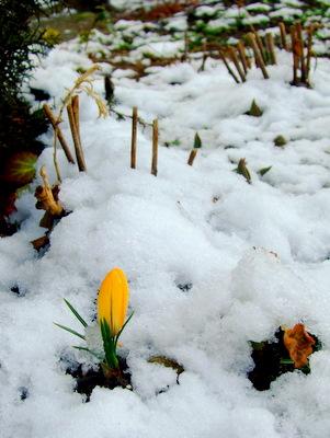 雪の中の黄色いつぼみ