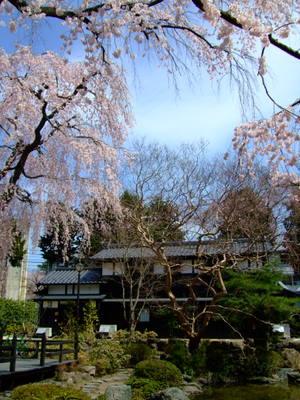 中島丁公園のしだれ桜