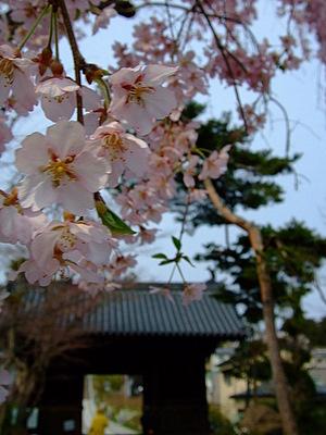 輪王寺の桜