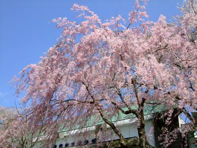 塩竃神社博物館のしだれ桜
