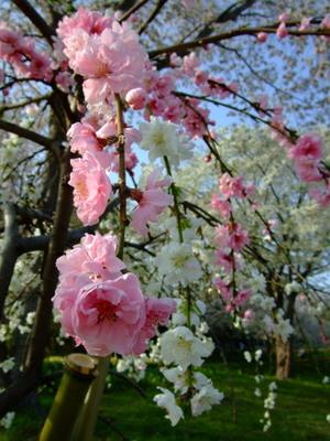 多聞山の2色の桜