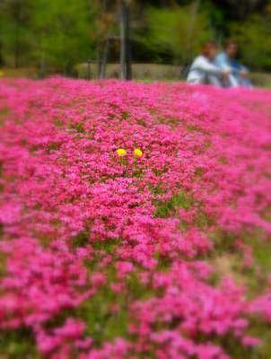 スパッシュランド芝桜