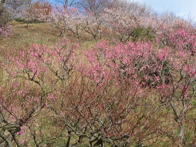 2014植物園梅