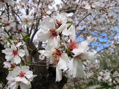 桜みたいなアーモンドの花