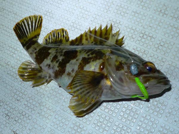 明石 根魚