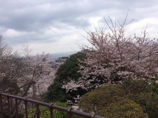 今年初お花見( *´艸`)