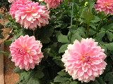 フォーマルデコラ咲き