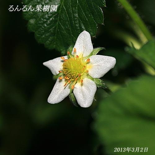アイベリーの花