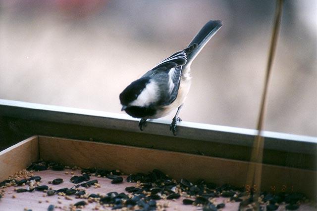 Black-capped Checkadee
