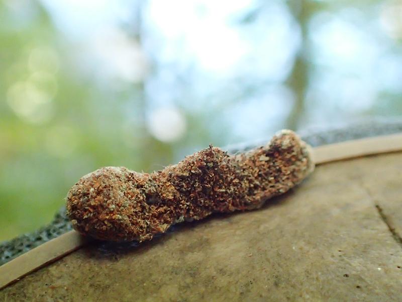 ヤガ科の幼虫?