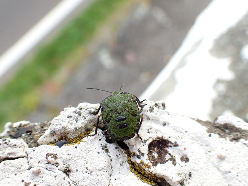 エゾアオカメムシ幼虫