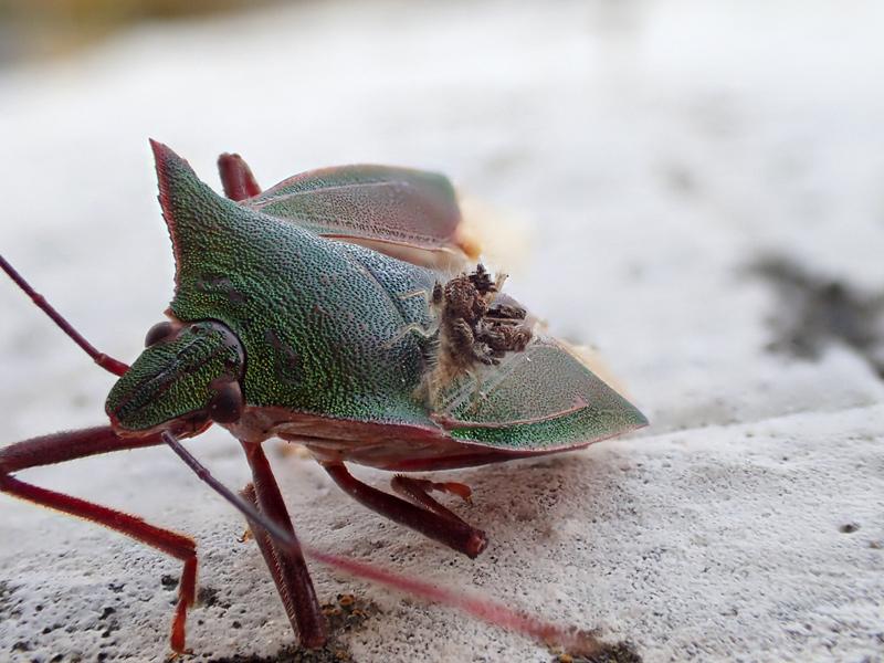 ツノアオカメムシとクサカゲロウの幼虫