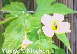 Yukiyo's Kitchen ゴーヤの花