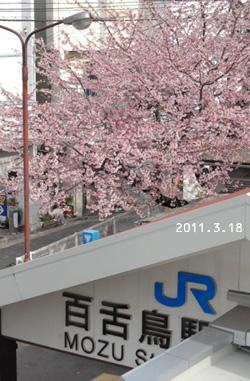 百舌鳥の桜