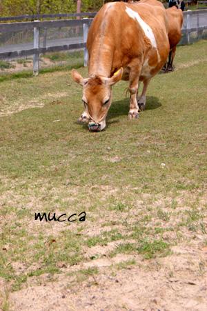 牛 mucca
