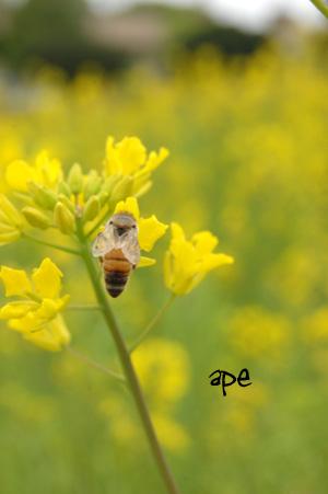蜂 ape