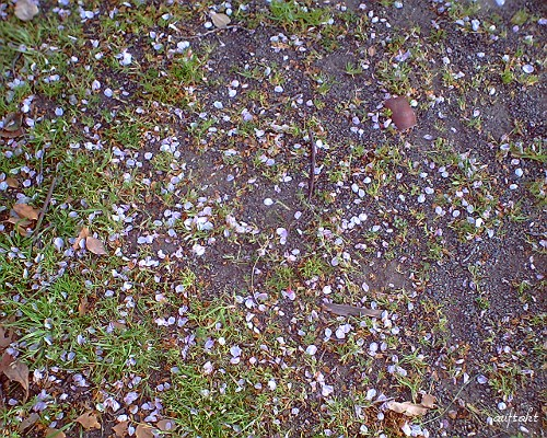 地面に咲く桜
