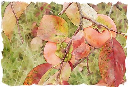 柿 うきは 浮羽 紅葉 散歩 柿の実