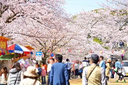 福岡市、西公園、桜