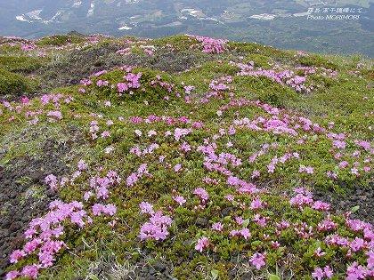 高千穂峰山頂ミヤマキリシマ