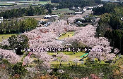 母智丘公園(もちお公園)の桜
