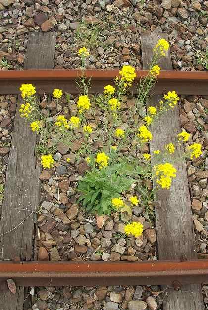 高千穂鉄道線路と菜の花