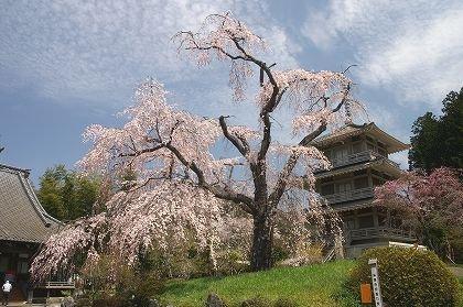 浄専寺の枝垂れ桜