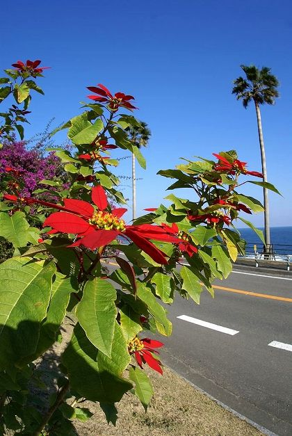 日南海岸 ポインセチア