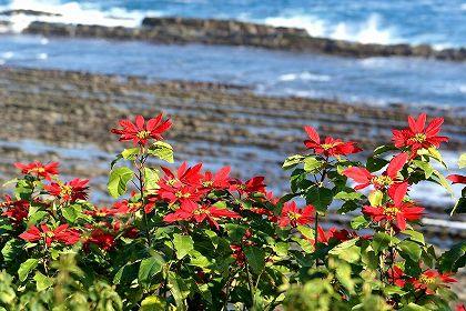 日南海岸ポンセチア