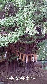 葛飾八幡宮のご神樹・千本いちょう