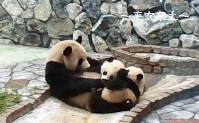 白浜のパンダ親子