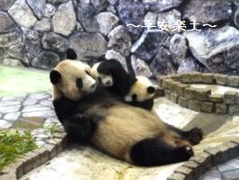 双子の赤ちゃんパンダとお母さんパンダ