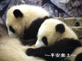 双子の赤ちゃんパンダ