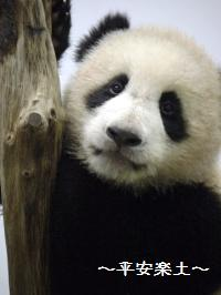 木登り赤ちゃんパンダ