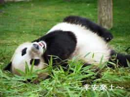 寝っ転がって食べるパンダ