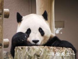 立ちあがってるパンダ