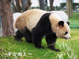 歩くパンダ