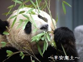 食べるパンダのアップ