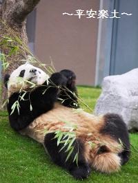 ごろりんこパンダ