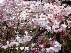 玉蔵院のしだれ桜。