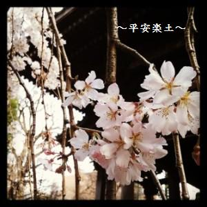 19日の玉蔵院のしだれ桜と本堂。