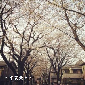 22日の武蔵浦和〜別所沼公園の桜並木。
