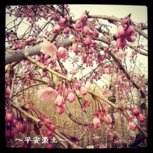 22日の別所沼公園のしだれ桜。
