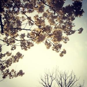 23日の埼玉県庁の裏通りの桜。