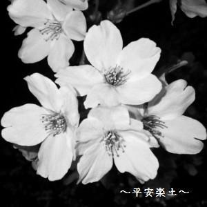 24日夜の大宮公園の桜。
