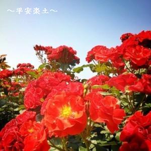 山下公園のバラ。